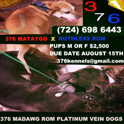 376 Kennels Specializing In The Best Bolio Redboy Jocko Bloodlines